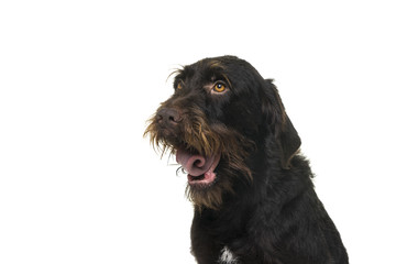 Portrait of the head of female Cesky Fousek dog gasping looking away seen from the front isolated on a white background