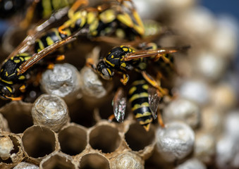 Macro picture of wasps sitting on its wasp nest in a living room