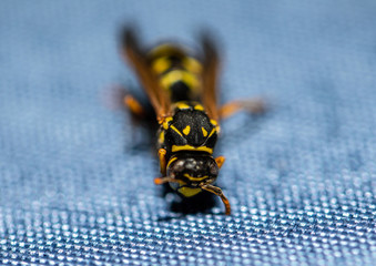Macro picture of a wasp sitting on a table