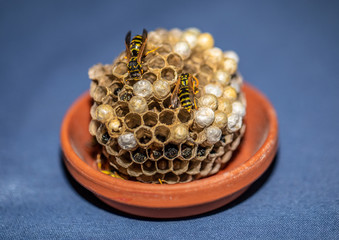 Picture of wasps sitting on its wasp nest