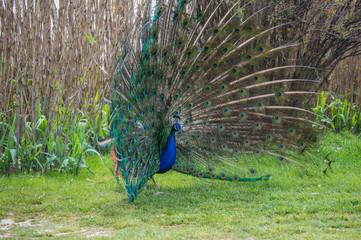 Male peacock mating ritual.