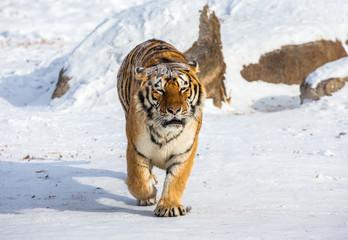 Siberian tiger walks in a snowy glade in a hard frost. Very unusual image. China. Harbin. Mudanjiang province. Hengdaohezi park. Siberian Tiger Park. Winter. (Panthera tgris altaica)