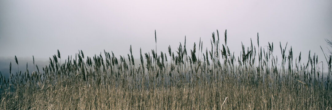 Thickets of reeds and snow on a meadow on a foggy day, panoramic landscape. Web banner for design.