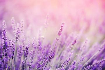 Fototapeta Closeup of lavender, purple tone sunlight. Fabulous magical artistic image of dream, copy space obraz