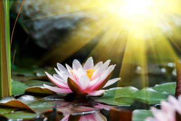 Fond de hotte en verre imprimé Nénuphars beautiful water lily