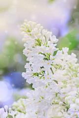 Poster de jardin Muguet de mai Blooming lilac flowers. Abstract background. Macro photo.