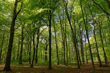 Rotbuchenwald