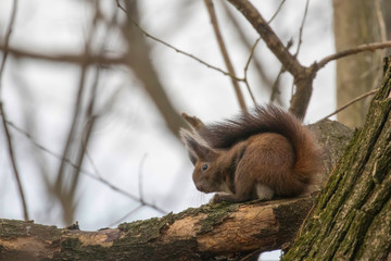 Red squirrel sitting on a tree, Autumn forest squirrel (Sciurus vulgaris)