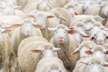 Foto op Canvas Schapen Flock of sheep, sheep farm