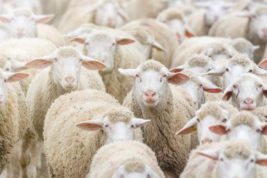 Flock of sheep, sheep farm