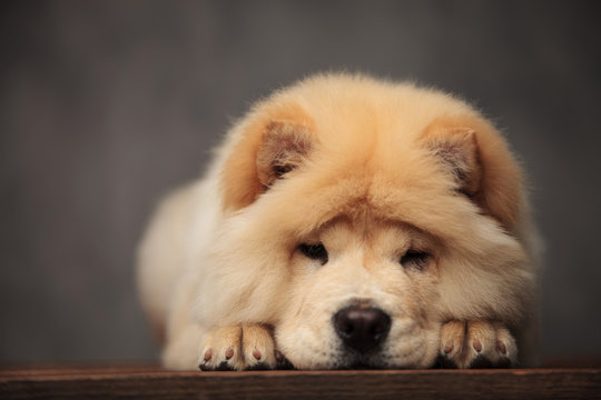 cute chow chow resting on its paws on wooden table