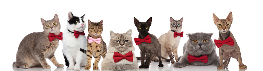 team of eight cute cats wearing bowties on white background