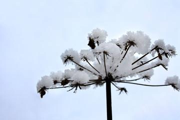 Fototapeta Śnieżny kwiat obraz
