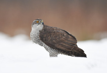 Wall Mural - Northern goshawk (Accipiter gentilis)