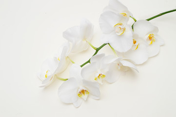 romantic branch of white orchid on beige background.