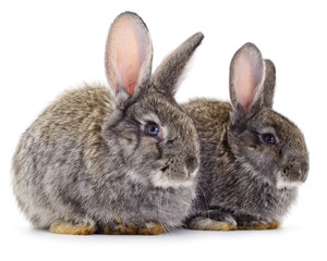 Two gray rabbits isolated