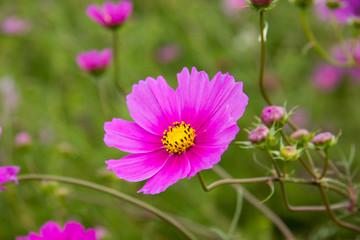 Pinke Blume mit gelben Blütenkern