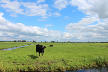 Curious black or red white frysian cows and bull on the green meadows of the Krimpenerwaard in the Netherlands