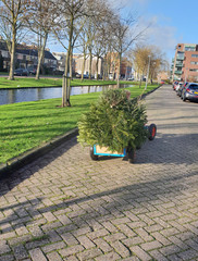 Little child is searching old christmas trees with his skelter which collected by municipality of Zuidplas and pay 50 cents per tree