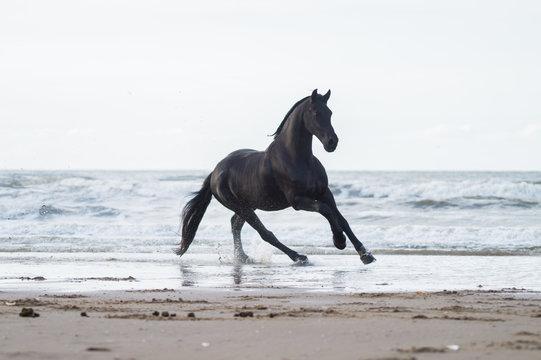 black friasian horse on beach