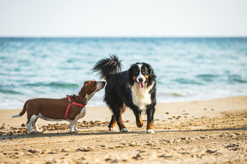 Bernese Mountain Dog and Basset Hound smelling the butt and relating. Two dogs of pedigree breed, languishing with the muzzle in the buttocks or anus with smells.