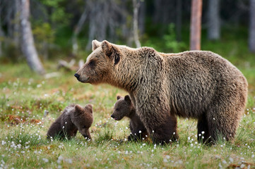 Mother bear and cubs Wall mural