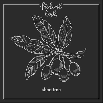 Shea tree seeds medical herb sketch botanical design icon for medicinal herb or phytotherapy herbal tea infusion package.