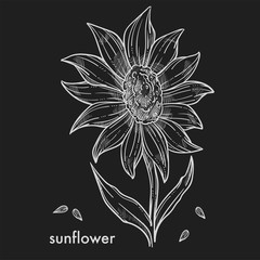 Ripe sunflower with big blossom and seeds monochrome sketch.