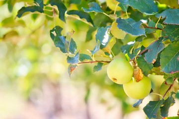 Young Apples Growing On Tree In Stanthorpe, Australia
