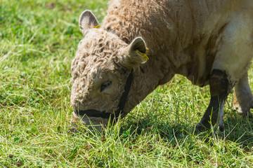 Wolliges Rind frisst Gras