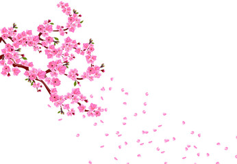 Sakura. Branches with pink flowers, leaves and cherry buds. Petals fly in the wind. isolated on white background. illustration
