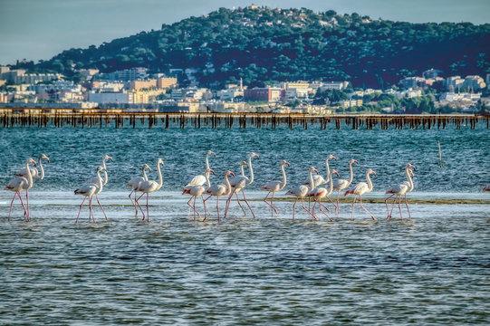 Flamingoes on the Etang de Thau saltlake in France