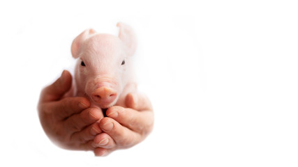 beautiful pig picture on white background