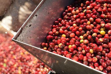 Coffee beans,In the ferment and wash method of wet processing