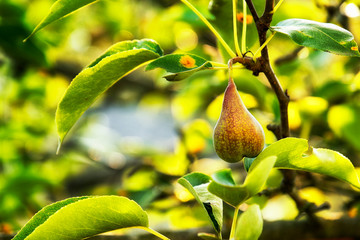 lonely pear among the leaves