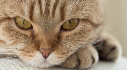 Papier Peint - cat closeup portrait