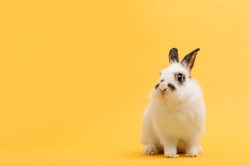White rabbit on yellow background.