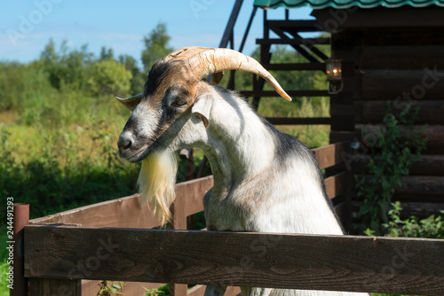 A curious goat with large horns peeping out of the pen