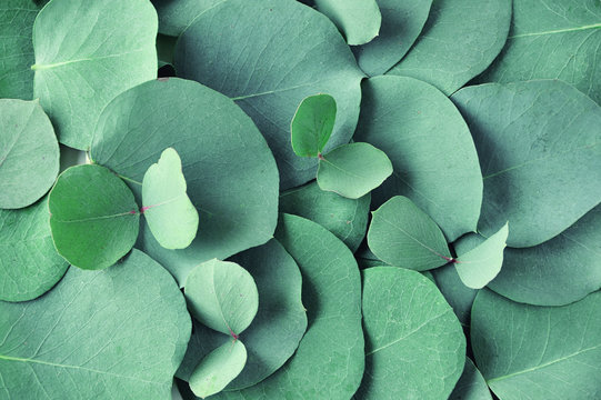 Fresh eucalyptus leaves. Flat lay, top view. Nature green Eucalyptus leaves  background