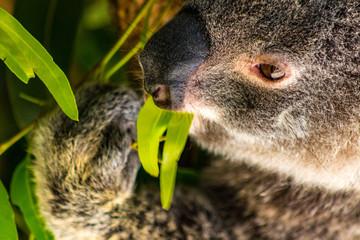 Koala eating a leaf
