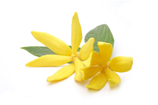 Ylang-Ylang (Cananga odorata) valued for perfume extracted from its flowers,  which is an essential oil used in aromatherapy. Also called fragrant cananga, Macassar-oil, or perfume tree. Isolated