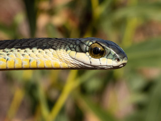 Male Boomslang (Dispholidus typus) in Tree