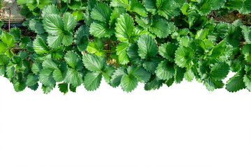 Top view of Strawberry leaves isolate on white background