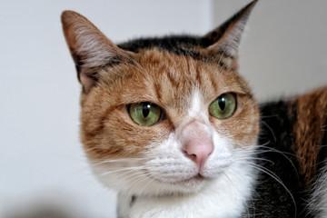 Young Cat; Tortoiseshell