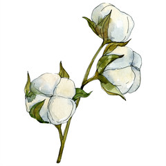 Cotton floral botanical flower. Watercolor background illustration set. Isolated cotton illustration element.