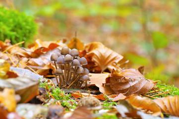 Helmlinge im Herbstwald - a group of Mycena mushrooms in forest
