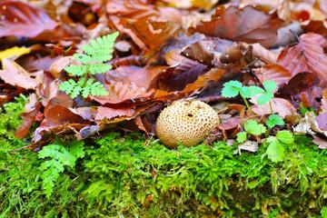 Kartoffelbovist, Scleroderma citrinum - common earthball or  Scleroderma citrinum in forest