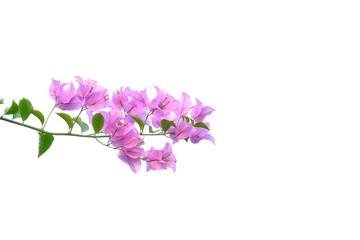 A bunch of sweet pink bougainvillea flower blossom with leaves on white isolated background