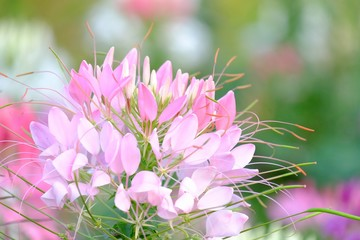 Close up sweet pink spider flower blossom in botanical garden with green nature background