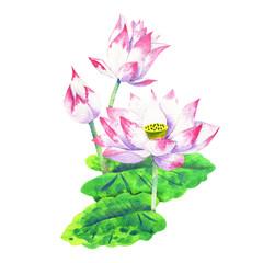 small pink blossom of lotus watercolor drawing